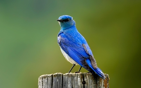Bluebird - beauty, lovely, cool, blue, great, oiseau, animal, forest, winged, graceful, wild, animals, adorable, pretty, picture, bluebird, green, beautiful, cute, other, feather, wonderful, nature, little, delicate, bird, birds, nice, singer, wing, photography, tree