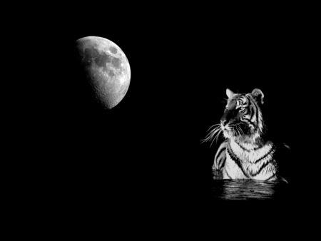 The tiger and the moon - white tiger, stunning, zen, space, bath, tiger, fantasy, gothic, beauty, reflection, star, fairy, widescreen, lovely, tigre, black, collage, sky, cat, water, feline, cool, awesome, moonlight, white, dreamy, black and white, tigers, beautiful, twilight, picture, animal, photography, moon, calming, hot, light, other, gorgeous, animals, night, stars, amazing, romantic, whiskers, universe, dark, peaceful