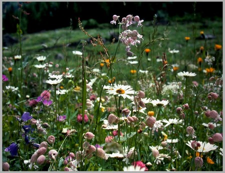 Summer Meadow - grass, flowers, meadow, daisies, wild flowers, daisy