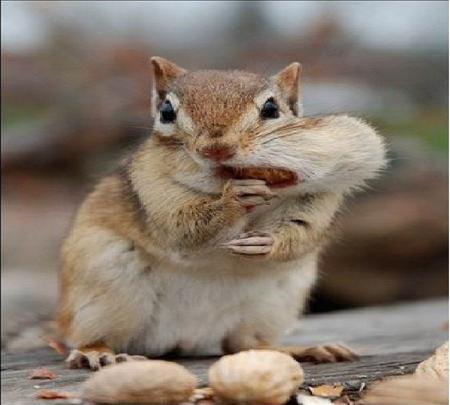 Funny squirrel squirrels animals background wallpapers - Funny squirrel backgrounds ...