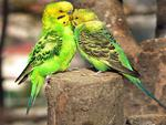 Budgie father and son