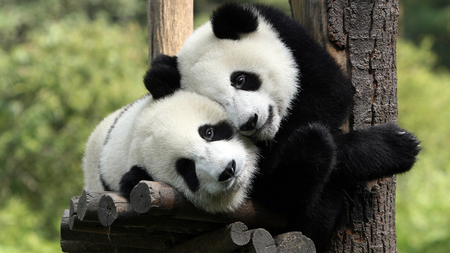 Image result for panda love