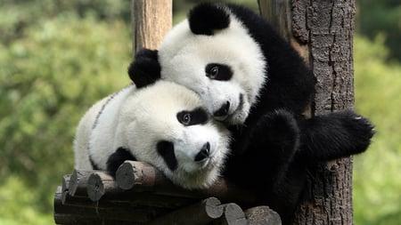 panda love - white, photography, panda, black, bear, cute