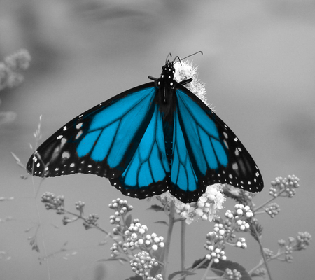 Blue and Black Butterfly - gray background, beautiful, butterfly, blue and black