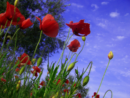 Remember summer - red, image, poppies, sky, wild, flowers, beauty, nature, popular