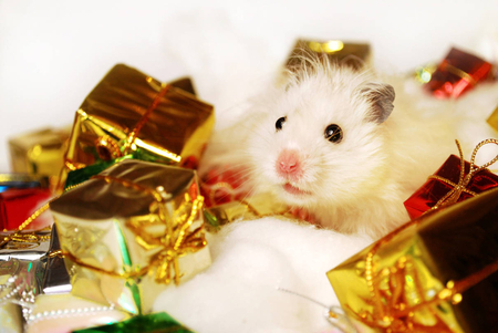 Christmas is for me, too ♥ - soft pink, small, sweet, hope, jesus, green, love, forever, syrian hamster, light, present, lovely, christmas, red ribbon, peace, pink ribbon, joy, gift, pet, tiny, heart, entertainment, presents, fashion, faith