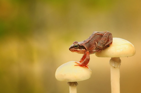FROG ON MUSHROOMS - frog, wildlife, amphibian, mushrooms, toad