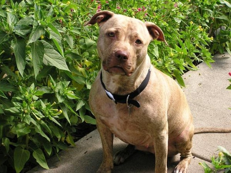 AMERICAN RED NOSE PIT BULL