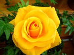 A yellow rose for my closest friends...