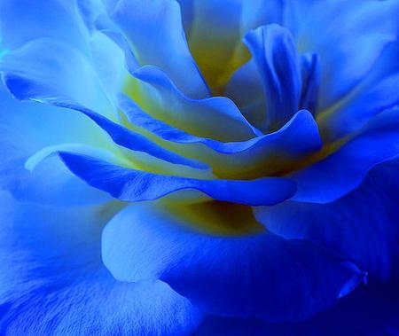 Blue rose - white, blue, rose, macro, flower, yellow