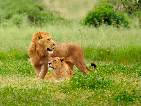 Male and female lions - Other & Animals Background