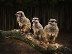 Are We tree meerkats?