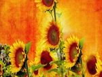 The Beauty and Benefits of Sunflowers