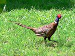 Pheasant-Phasianus-Colchicus
