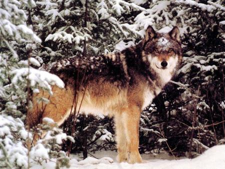 pretty wolf other animals background wallpapers on desktop nexus
