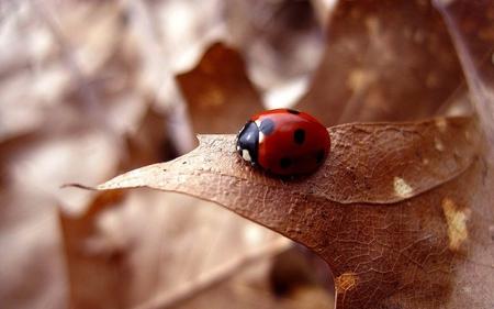 Ladybug - autumn, ladybug, leaf, ladybird, nature, leaves