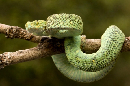Pit Viper Reptiles Animals Background Wallpapers On
