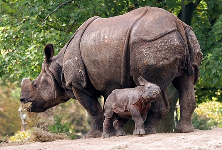 RHINO MOM & BABY - big, wild, wildlife, rhino, baby