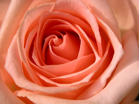 A soft peach rose. - admiration, sympathy, appreciation, gratitude