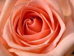 A soft peach rose.