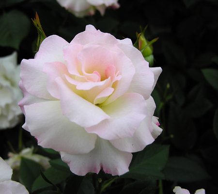 Baby pink rose flowers nature background wallpapers on desktop baby pink rose mightylinksfo