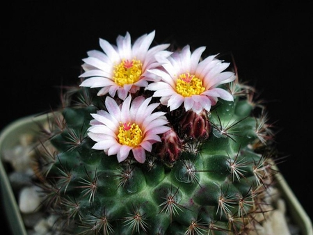 Cacti Flowers - flowers, beautiful, cacti, picture
