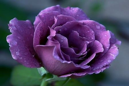 Luiza's Rose - luiza, purple, rose, beauty, delicate, graceful