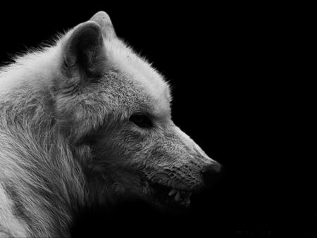 White Wolf Dogs Animals Background Wallpapers On Desktop Nexus Image 869433
