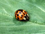 Asian-Multicolored-Lady-Beetle