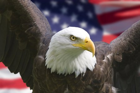 American Eagle - flag, american, bird of prey, bald eagle, american flag, patriotic, eagle