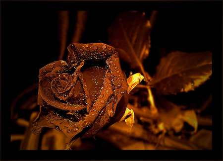 Golden Rose Wallpaper Golden Rose Wallpaper Golden