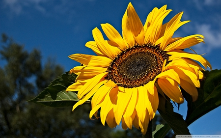Sunny Sunflower - sun, plants, colorful, flowers, sunflower, nature