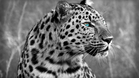 Blue Eyed Leopard Profile Cats Animals Background Wallpapers On Desktop Nexus Image 871355