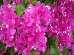 Bougainvillea fuschia colored flowers..