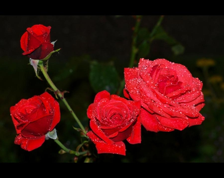 Red roses with rain drops flowers nature background wallpapers red roses with rain drops altavistaventures