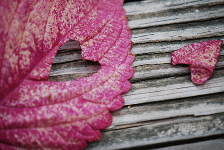 piece of my heart - fall, autumn, closeup, abstract, leaf, photography, beauty, nature, pink