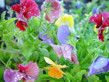 DRIPPING RIOT OF COLOUR OF PANSIES - pretty, pansies, colour, lovely