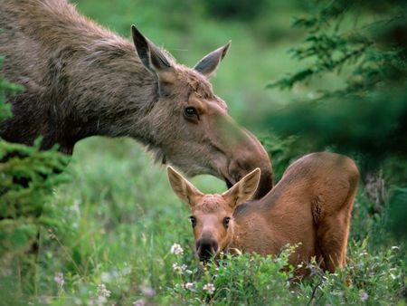 Mother moose with calf. - moose, love, calf, mother, animal
