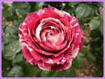A peppermint candy cane rose..