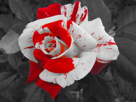 Red White Rose Flowers Nature Background Wallpapers On Desktop