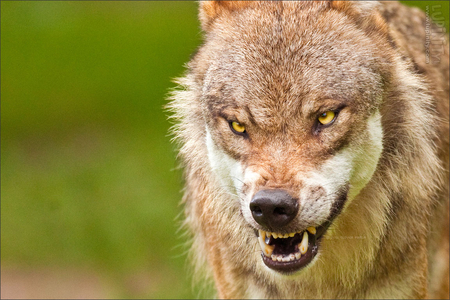 Angry Wolf Dogs Animals Background Wallpapers On Desktop Nexus Image 874083