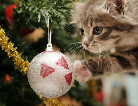 Merry Christmas - beauty, lovely, sweet, pussy, christmas, cool, great, animal, christmas tree, kitty, pretty, kitten, feline, beautiful, cute, photo, cat, merry christmas, amazing, little, holiday, nice, ball, colors, photography, tree