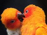 A Parakeet Kiss