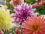 Assortment of Dahlias