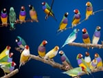 Gouldian finches.