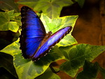Lovely Morpho