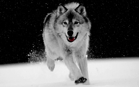 Play in The Snow  for  {Daxe09} - dogs, wolf, photography, animals, other, black and white