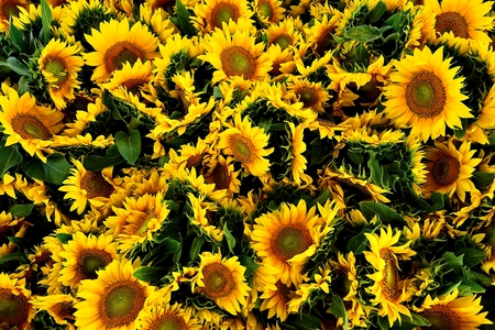 sunflowers - yellow, flowers, sunflowers, sunflower, flower
