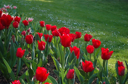 Red Tulips - red tulips, grass, beautiful flowers, field, lovely color