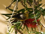 CANARY ON BOTTLE BRUSH